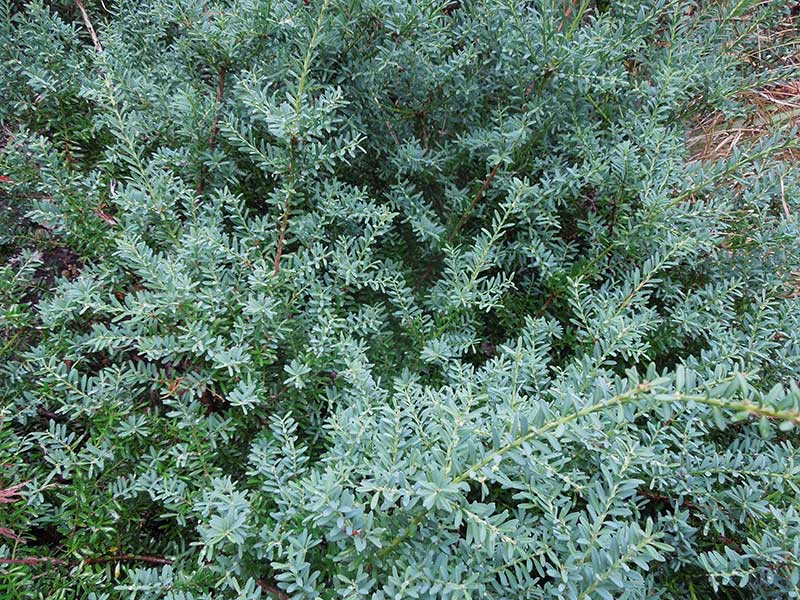 Podocarpus lawrencei 'Blue Gem' is a wonderful small conifer that can be used as a groundcover and is as low maintenance as a plant can be.