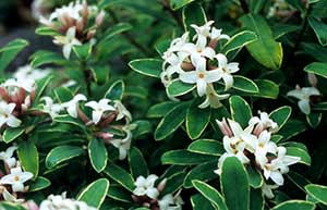 The perfume of Daphne × transatlantica 'Summer Ice' can waft through your garden for up to 6 months!