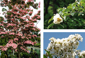 Stewartia pseudocamellia produces camellia-like white flowers in midsummer. The June flowers of Cornus kousa 'Satomi', a pink form of disease-resistant Korean dogwood, are followed by strawberry-like fruits in August. Lagerstroemia indica 'Natchez' is one of many varieties of summer-flowering crape myrtles.
