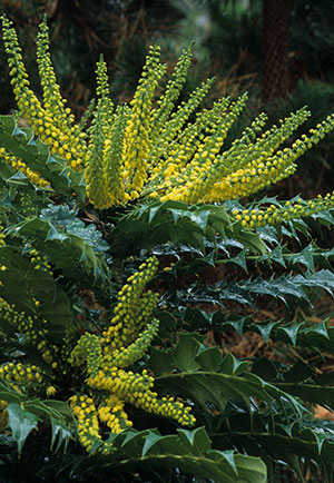 Mahonia x media - Winter Sun