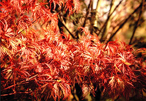 Fall foliage of Cutleaf Japanese Maple (Acer palmatum 'Seiryu')