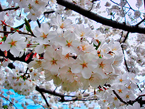 Flowers of Yoshino Cherry