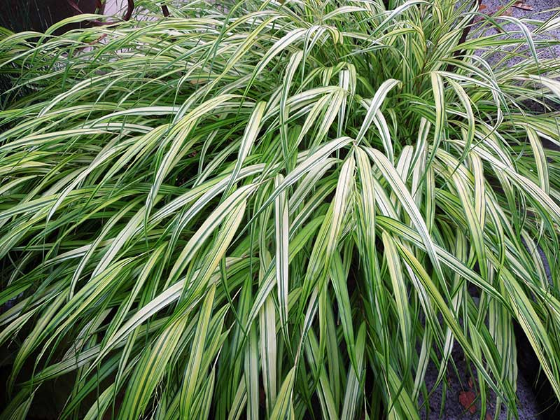 Once its grass-like leaves emerge in early spring, shade-loving Hakonochloa macra 'All Gold' is a star performer into fall.