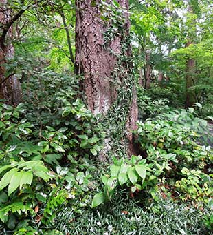 The Miller Garden's upper woodland combines the familiar (Douglas Fir) with exotic treasures.
