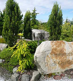 The Coenosium Rock Garden, part of the South Seattle Community College arboretum, houses an outstanding collection of conifers.