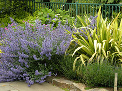 Nepeta 'Walker's Low' against Phormium 'Yellow Wave' that is still here 10 years after planting